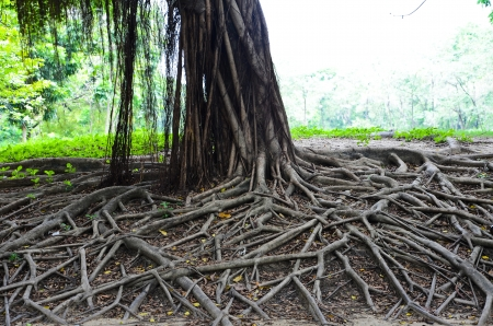 Big banyan tree in Park of Thailand  photo