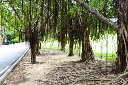 Walking along the banyan tree photo