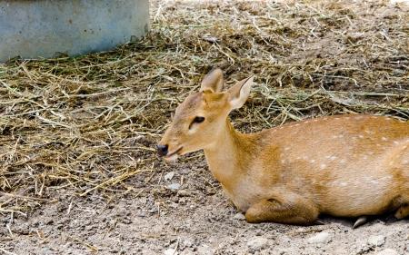 Brown Deer Stock Photo - 14587503
