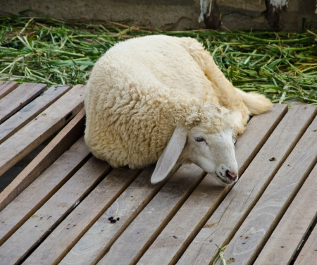 Brown sheep sleep on wood ground  photo