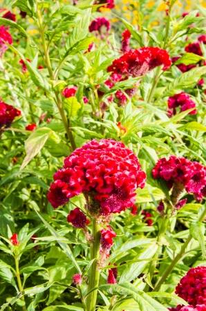 celosia: Celosia argentea red beutiful flower