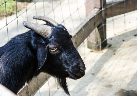 Black Goat face and horn photo