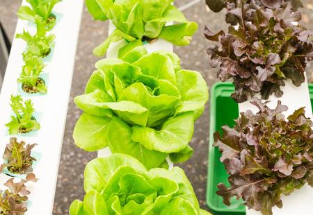 水土壌なしでのミネラル栄養解決を使用して植物を育てる水耕栽培法。