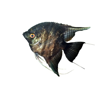 scalare:                       A general view of aquarium fish Pterophyllum scalare black on a white background          Stock Photo