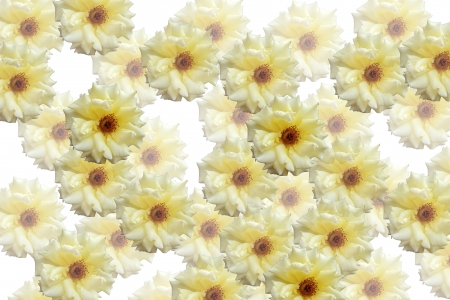 photomontage: Photomontage background of blossoming yellow roses on a white background Stock Photo