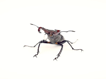 Front view of the stag beetle, being in a combat stance, isolated on white background photo