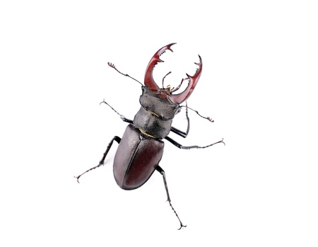 Top view of stag beetle, isolated on a white background, close-up photo