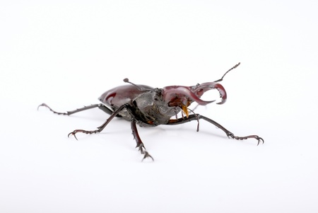 Stag beetle isolated on white background  male , front view photo