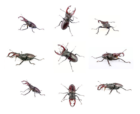 photo montage: Photo montage of nine images of the male stag beetle, isolated on a white background Stock Photo