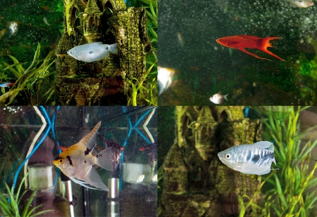 Aquarium fish  two-point gourami, gourami ordinary sword-bearer, the scalar koi Stock Photo - 23209493