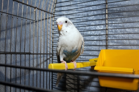 White wavy parrot in a metal cage on a perch photo