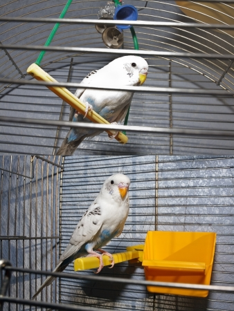 White wavy parrot on a perch in a metal cage Фото со стока