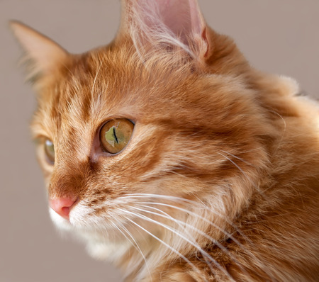 lazybones: Muzzle fluffy cat with a red coat color closeup Stock Photo