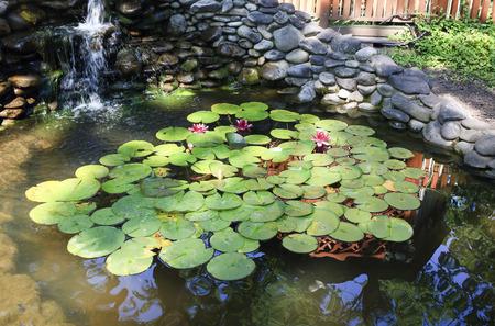 bassin jardin: Vue de l'�t� d'un grand bassin de jardin pas de fleurs de lys rouges