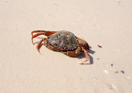 decapod: Marine crab on a background of yellow sand summer sunny day