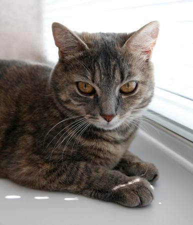 lazybones: British gray cat closeup