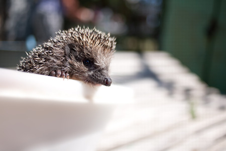 Hedgehog close-up ordinary summer day in sunny weather Stock Photo
