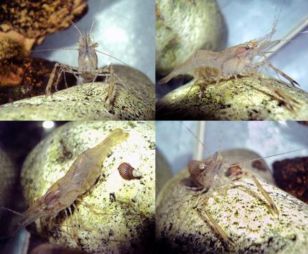 decapod: Decapod crustaceans - freshwater shrimp in the home aquarium Stock Photo