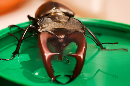 mandibles: Insect stag beetle, drinking syrup, close up, front view