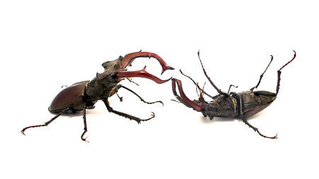 mandibles: Two fighting male stag beetle, one of which is defeated and is in the supine position on a white background Stock Photo