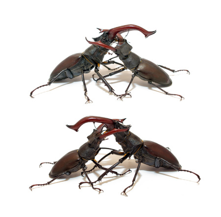 mandibles: Two fighting stag beetle isolated on white background, closeup
