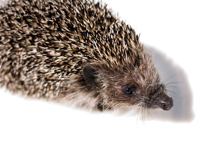 animal parts: General view of the animal - hedgehog on a light background Stock Photo