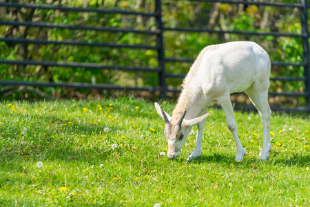 bloomy: Baby addax feeding. Baby addax on green grass with bloomy flowers. Wildlife nature. Baby addax. Horned.