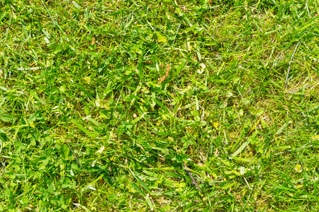 cutted: Freshly cutted green grass.