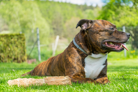 annealed: Dog, Staffordshire bull terrier, lying on freshly cutted grass with smile on his muzzle lolling tongue ( tongue out of mouth ) next to his chewed wooden stick with railing and nature on background.