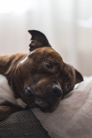 Vertical photo of staffordshire bull terrier lying on sofa looking up in soft focus. Shallow depth of field photo of pitbull lying on couch. Stock Photo