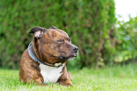 Funny portrait of staffordshire bull terrier with closed eyes on lolling tongue. Shallow depth of field and very soft focus.