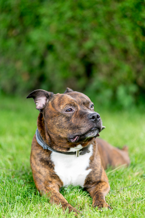 Horizontal bull breed photo. Staffordshire bull terrier lying on a grass field with bokeh background. In soft focus. Stock Photo