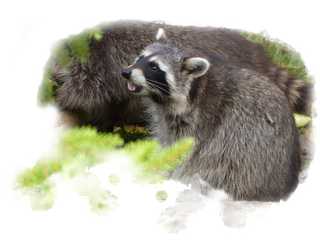 One raccoon sits sniffing on its rear paws observing and sniffing the territory, isolated on a white background Stock Photo