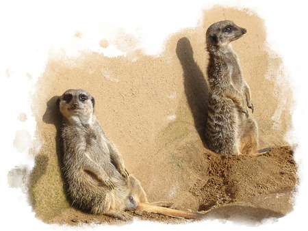 Two meerkats in front of a white background, isolated on white background