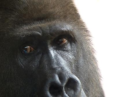 Een berggorilla-man observeert de camera aandachtig in een dierentuin, close-up Stockfoto - 79880930