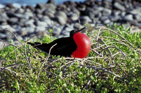 frigate: A frigate bird shows off on the Galapagos Islands, Ecuador