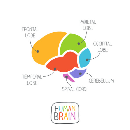 temporal: Human Brain Section Illustration