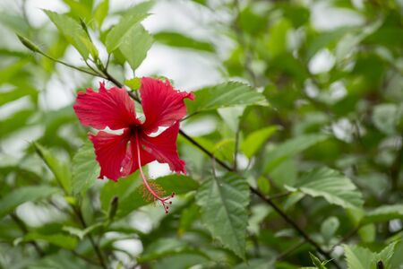 KEBUMEN - Hibiscus rosa-sinensis, known colloquially as Chinese hibiscus, China rose, Hawaiian hibiscus, rose mallow and shoeblackplant. Фото со стока