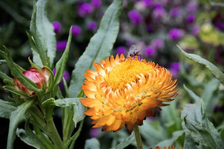 Strawflower is a flower that can bloom for a long time, many of which plant these flowers because of the beauty of their shape and color Фото со стока