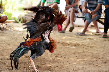 Cockfighting is a game of fighting two chickens in an arena untul one of the chickens runs away or loses