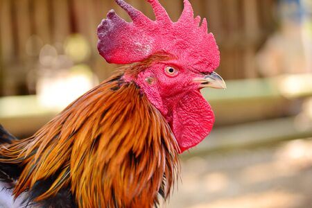 The head of a red feahter rooster