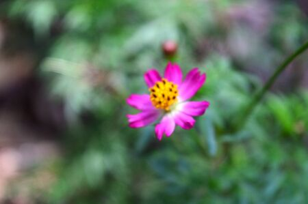 Asteraceae with white and pink petals 写真素材