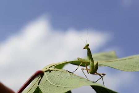 Mantis on cassava leaves with sky background