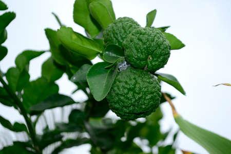 Citrus hystrix, called the kaffir lime, makrut lime and in bahasa called Jeruk purut, jeruk limau, limau, atau limo