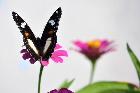 Hypolimnas bolina butterfly perch on red flower