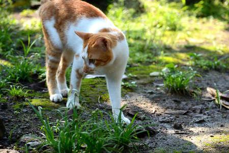 cute domestic cats are orange and white 版權商用圖片