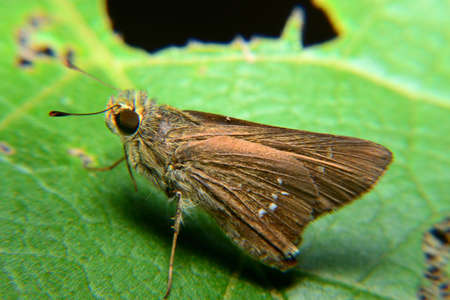 The small skipper is perching on green leaf