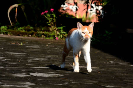 cute domestic cats are orange and white