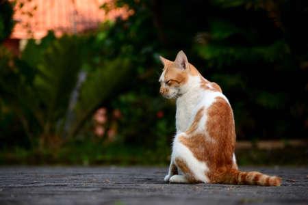 Cute domestic cats the color are orange and white 版權商用圖片