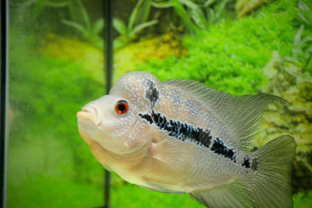 """Flowerhorn is one of the most well-known ornamental fish kept in aquariums because of the vivid color of their scales and their distinctively shaped head bumps nicknamed """"dark bumps"""" Imagens"""